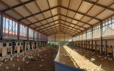 uitloop kippen